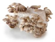 Kastanienseitling (Pleurotus pulmonaris) Substrat