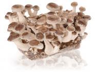 Shii-Take Pilz (Lentinula edodes) Substrat