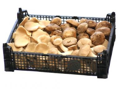 Bio Frischpilze Mischpackung 1: Shii-Take, Kräuterseitling, Austernpilz
