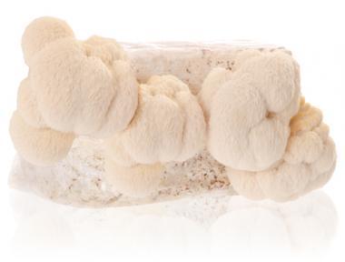 Pom-Pom Blanc (Hericium erinaceus)