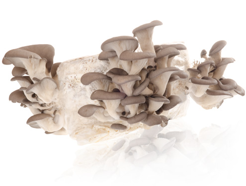 Austernpilz (Pleurotus ostreatus) Substrat