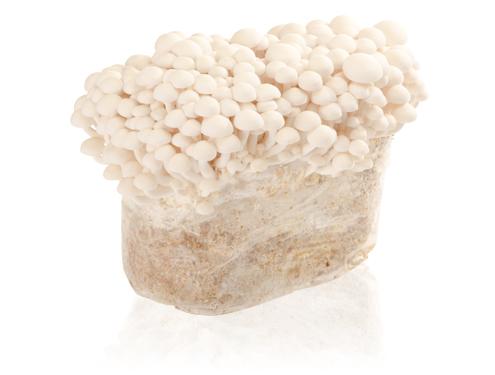Weißer Buchenpilz (Hypsizygus tessulatus) Substrat